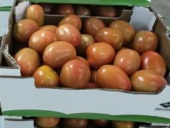 TOMATES ITALIENNES :  EN BOITE DE CARTON A  6 KG POIDS NET ET 150 BOITE/PAL STANDARD.