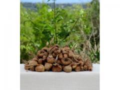 Bulbes de Safran pur /   زريعة زعفران الحر