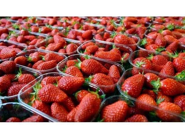 fraises fraiches (sabrina , savana , festival , fortuna , sanandreas , victory)