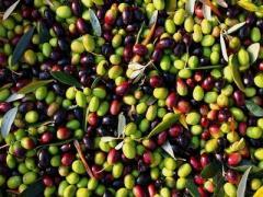 200 Tonnes d'olives Picholine de Languedoc, vertes et à usage pour conserves, Calibres 19/21