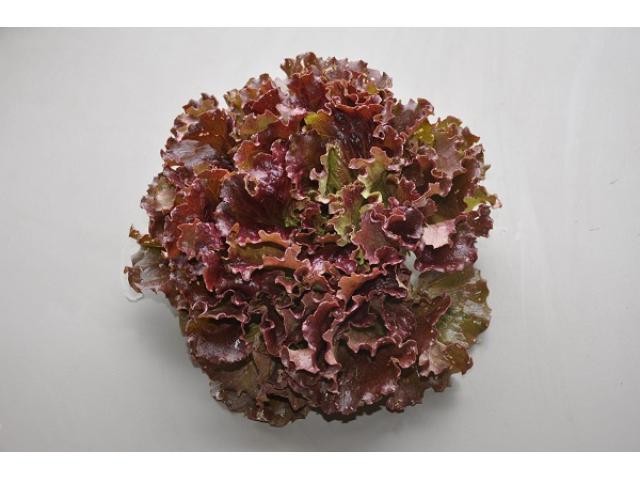 Salade batavia rouge  d'origine marocaine