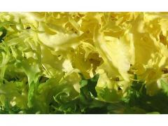 Salade fraiche Scarole d'origine marocaine