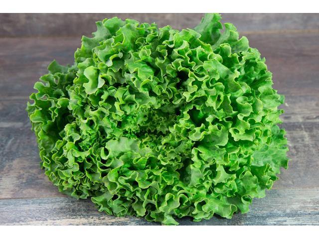 Salade Laitue Battavia vert, Origine Maroc