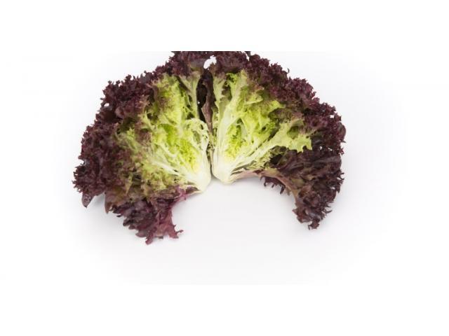 Salade Lollorosso (Laitue de corail rouge), d'origine Marocaine