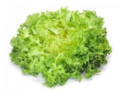 Salade Frisée verte, origine Maroc