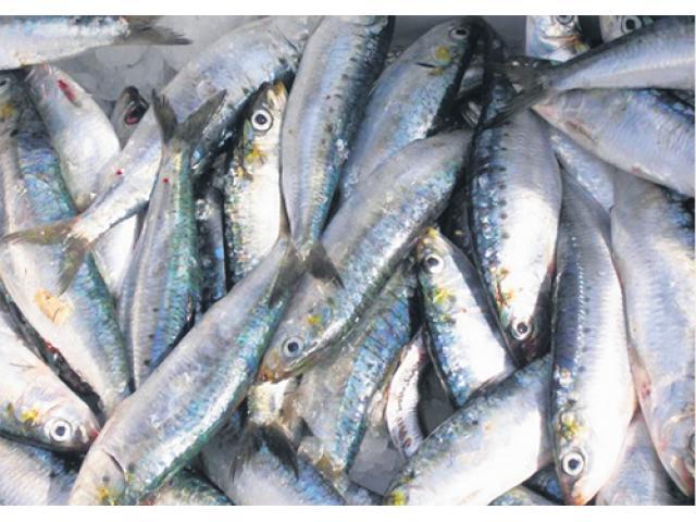 Sardines de haute qualité origin Maroc