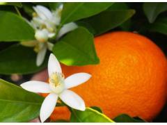 La fleur d'oranger bio et naturel origine maroc