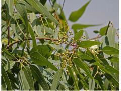 Eucalyptus bio et naturelle origine Maroc