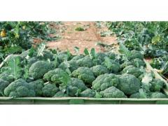 Brocoli frais bien vert
