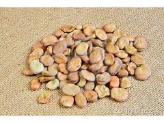 fève sèche production Marocaine