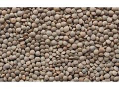 Lentilles de production Marocaine